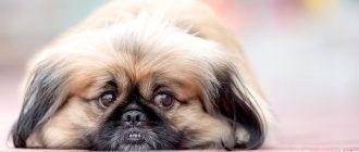 Карликовые собаки для квартиры