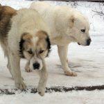 Рейтинг самых агрессивных пород собак