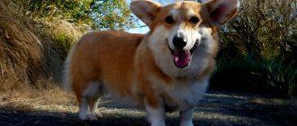 Рейтинг самых умных карликовых собак