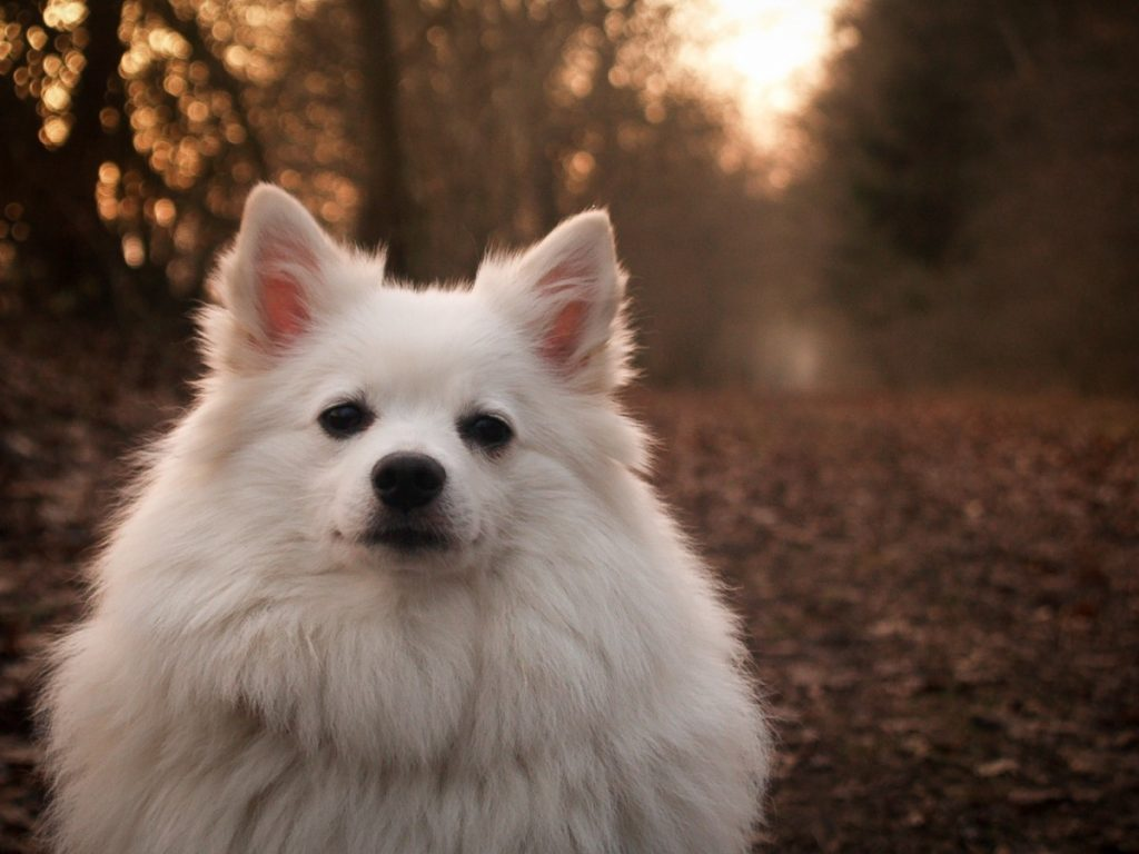 Японские породы собак