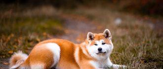 Акита-ину: описание породы