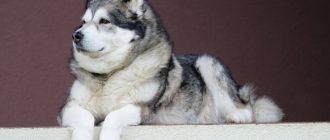 Аляскинский маламут: описание породы