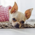 Чихуахуа: рарновидности и основные окрасы собак