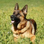 Немецкая овчарка: плюсы и минусы породы