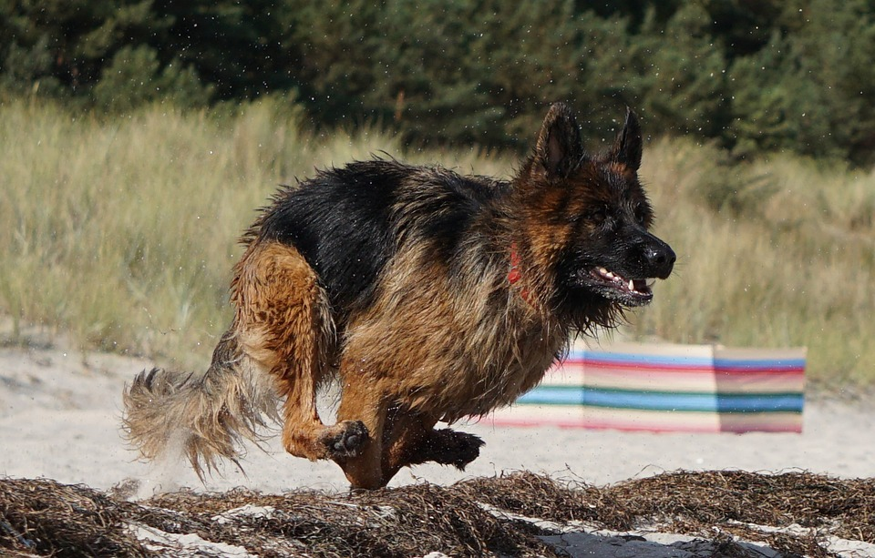 Дрессировка немецкой овчарки: обучение командам, тренировка и поощрение (фото и видео) 3