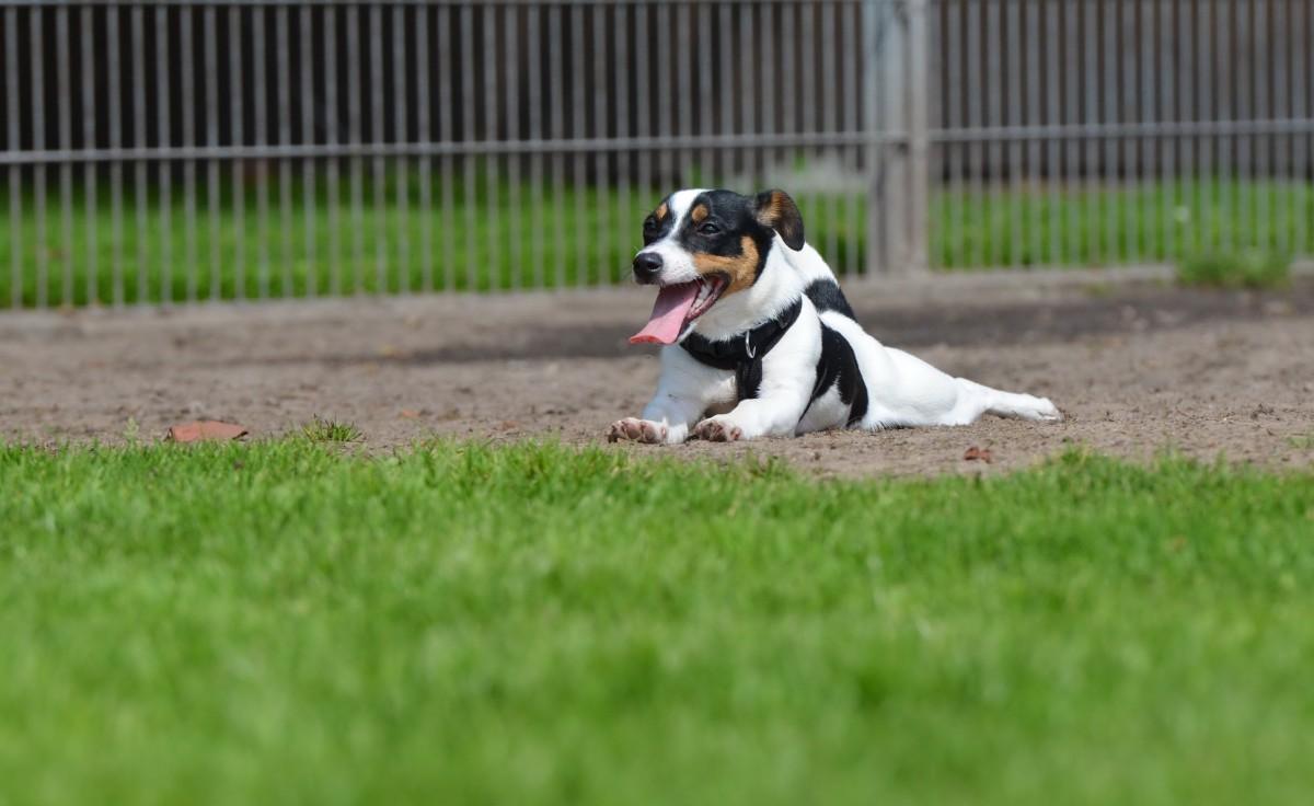 Порода собаки из фильма «Маска»