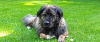 Породы собак для охраны частного дома