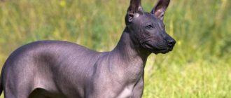 Ксолоитцкуинтли: описание и характеристика мексиканской голой собаки