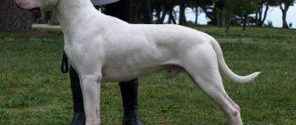 Кто такие молоссы: описание пород собак из группы молоссов