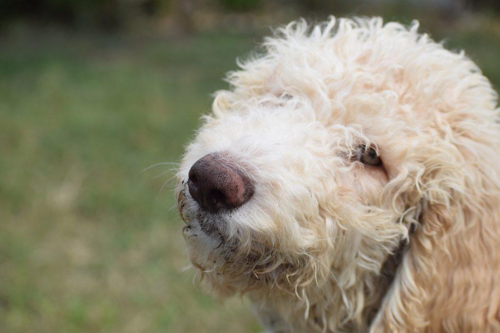 Порода собак Лабрадудль