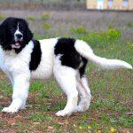 Порода собак ландсир: описание и характеристика