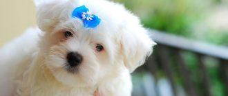 Мальтийская болонка: все о собаке, описание и характер, особенности ухода и воспитания