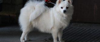 Небольшие породы собак для квартиры