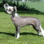 Нелиняющие породы собак: список
