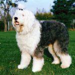 Пастушьи и скотогонные породы собак