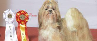 Порода собак ши-тцу: описание и характеристика