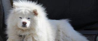 Самоедская собака: описание и характеристики породы