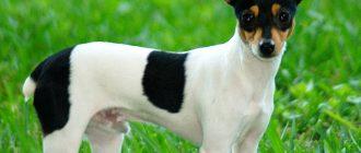 Самые маленькие породы собак в мире