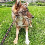 Шалайка: описание породы собак
