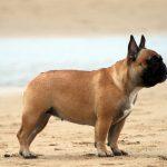 Французский бульдог: рост и вес по стандарту породы
