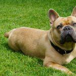 Французский бульдог: описание и характеристика породы