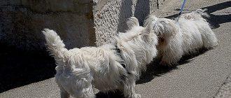 Течка у собак средних пород: симптомы, длительность, особенности