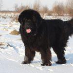 ТОП-10 самых больших пород собак