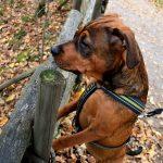 Золотистый ротвейлер: описание и особенности породы